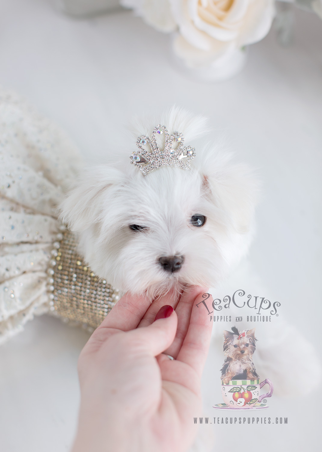 Maltese Puppy For Sale #074 Teacup Puppies