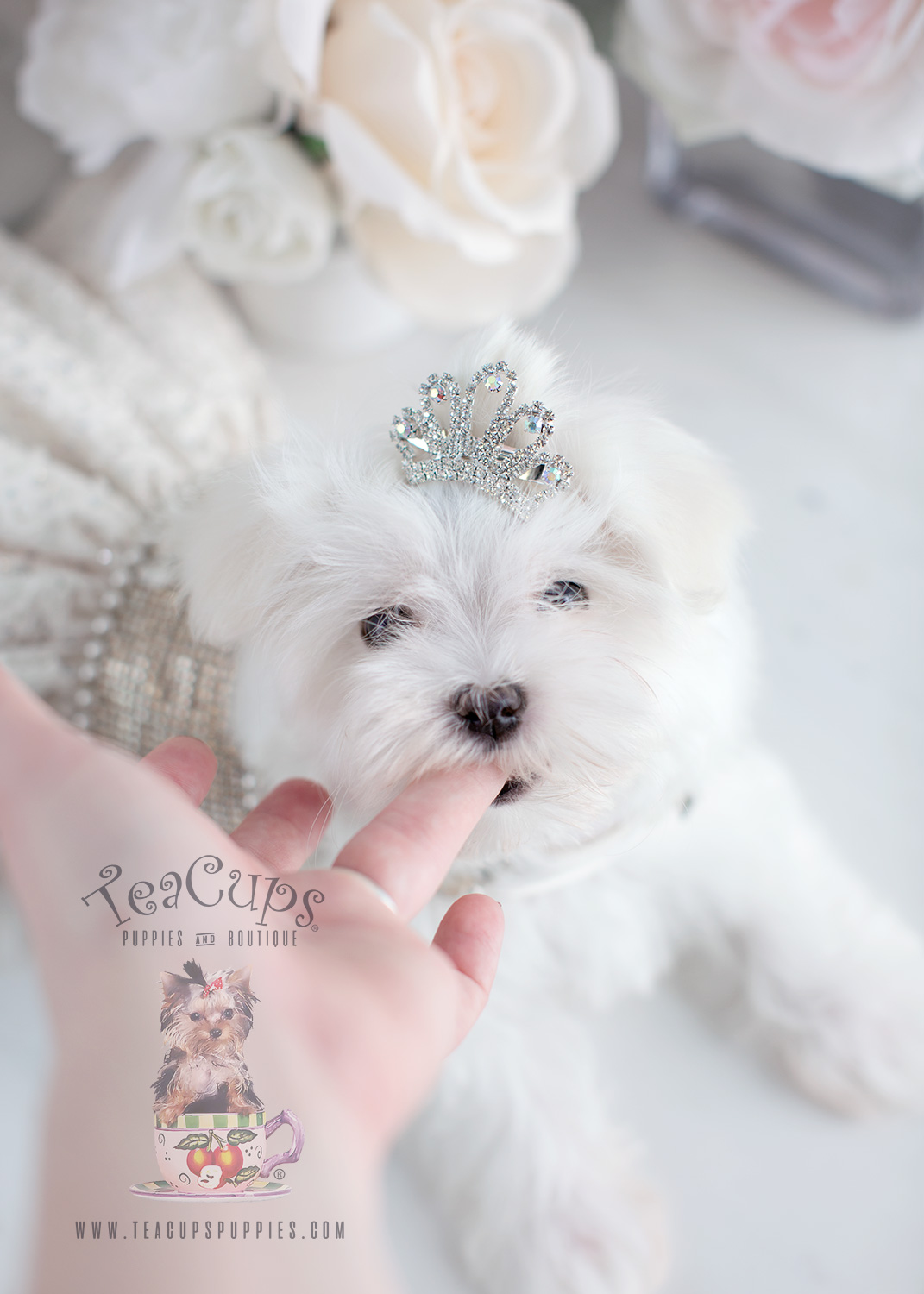 Teacup Maltese For Sale at TeaCups Puppies South Florida