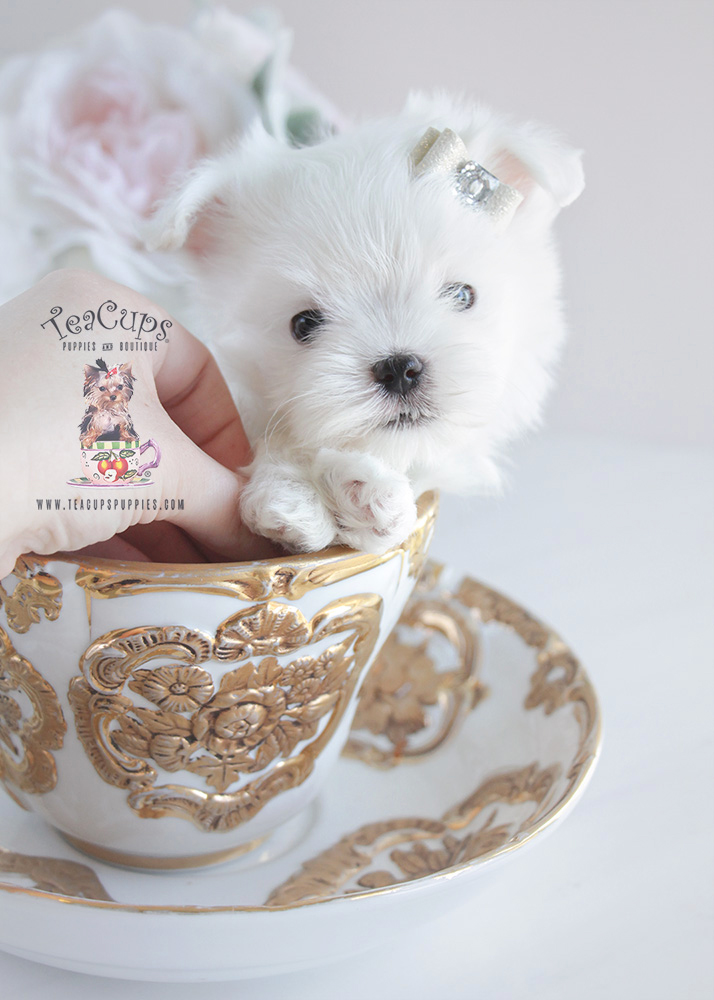 Teacup Maltese and Toy Maltese Puppies For Sale