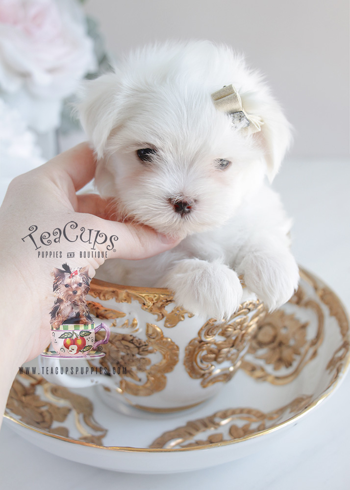 For Sale Teacup Puppies Maltese Puppy #077