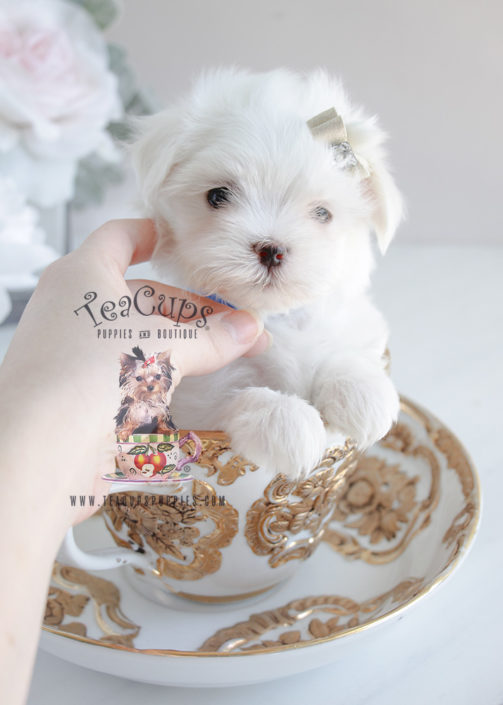 Maltese Puppy #077 For Sale Teacup Puppies