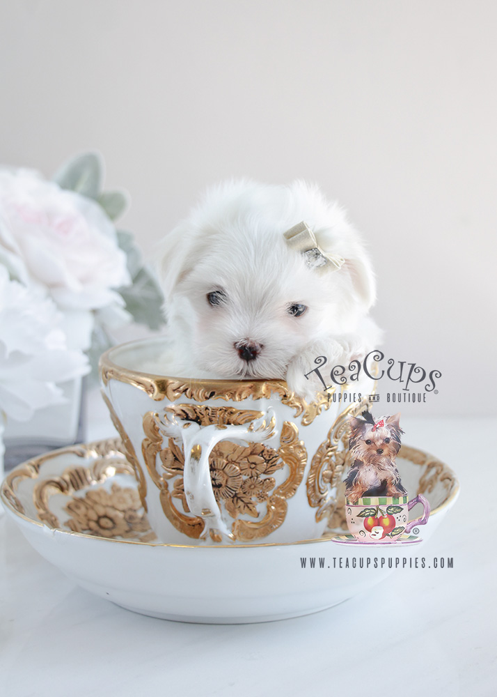 Toy Maltese For Sale At Teacups Puppies South Florida