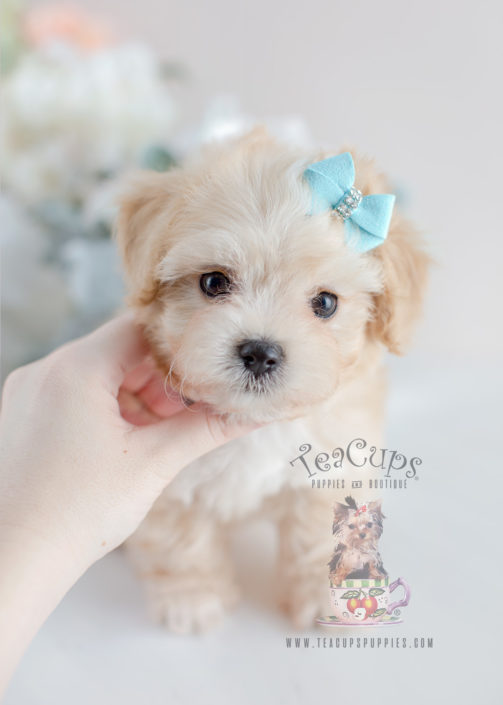 For Sale #055 Teacup Puppies Maltipoo Puppy