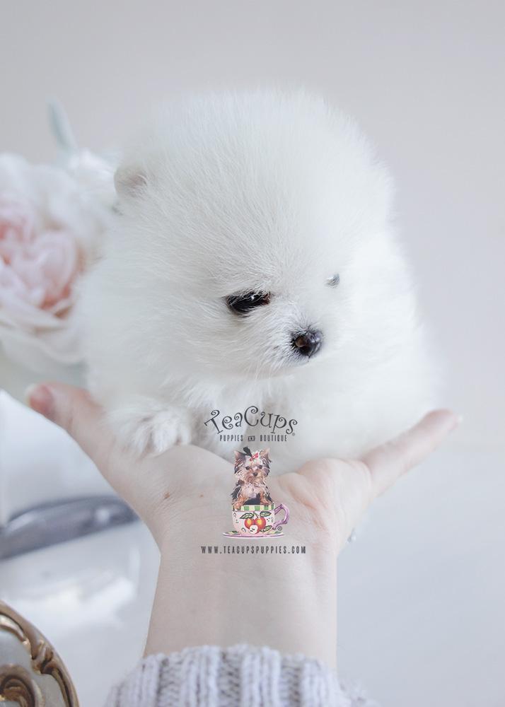 Pomeranian Puppy For Sale #091 Teacup