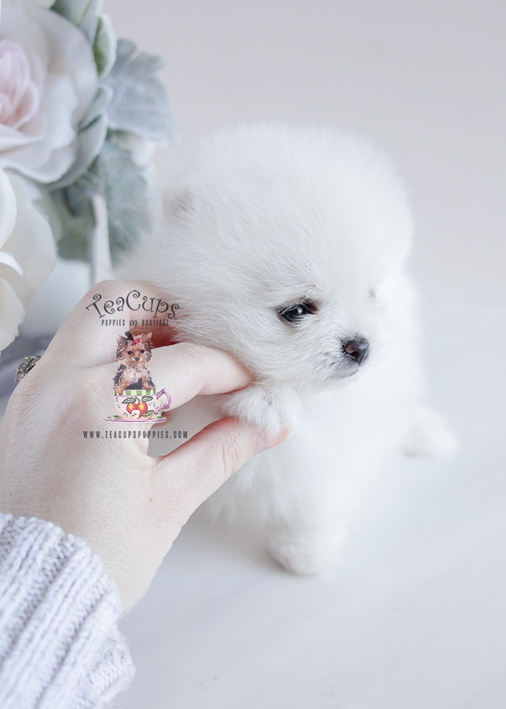 Teacup Pomeranian Puppy For Sale #092