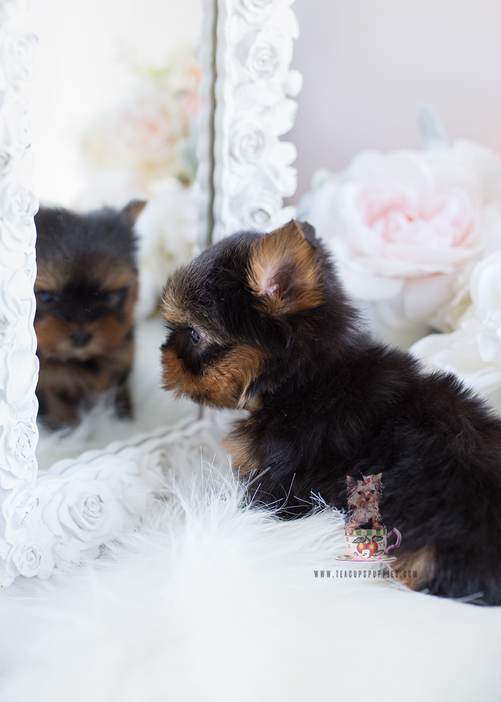 Teacup Puppies For Sale Ny