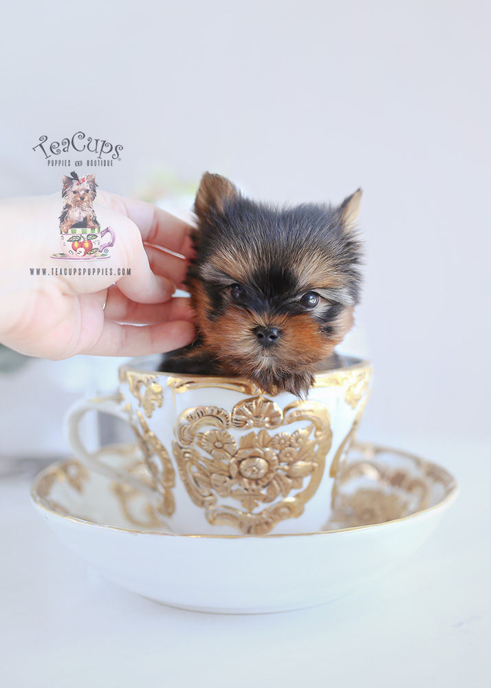 Puppy For Sale #104 TeaCups Puppies Teacup Yorkie