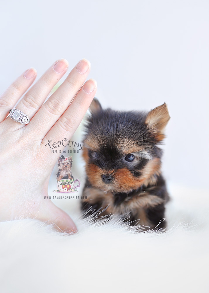 For Sale #104 TeaCups Puppies Teacup Yorkie Puppy
