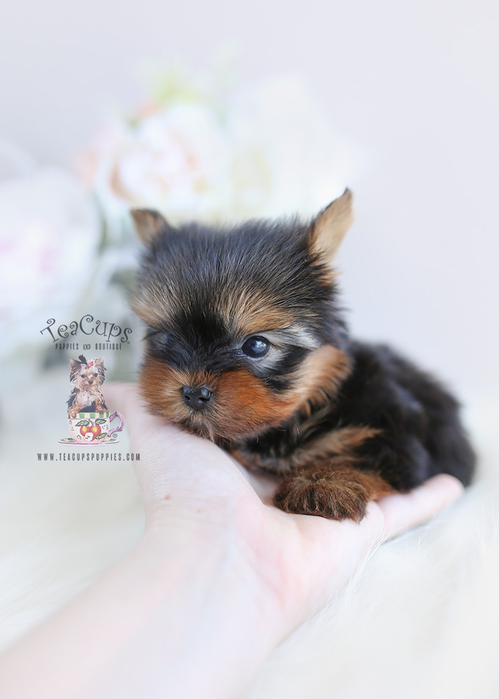 Teacup Yorkie Puppy For Sale #104 TeaCups Puppies
