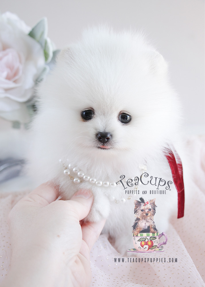 White Pomeranian Puppy For Sale #090 Teacup Puppies