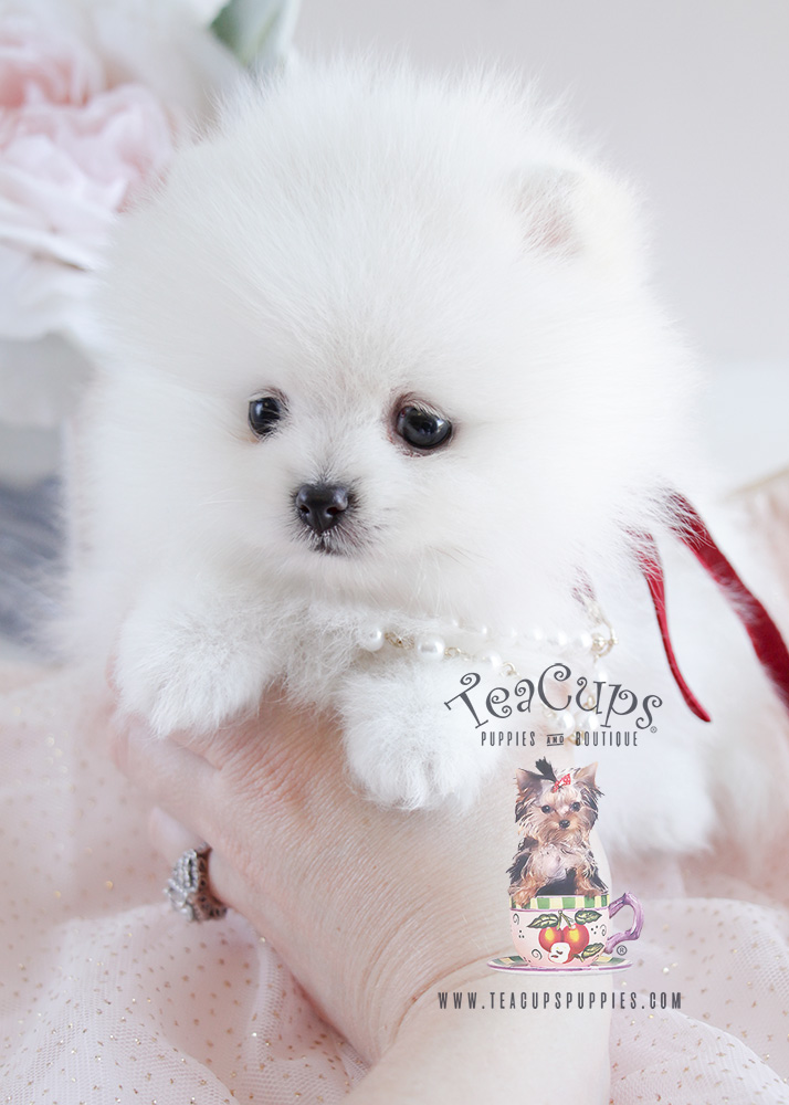 For Sale #090 Teacup Puppies White Pomeranian Puppy