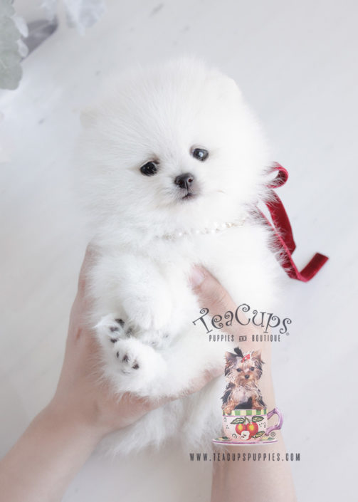 Puppy For Sale #090 Teacup Puppies White Pomeranian