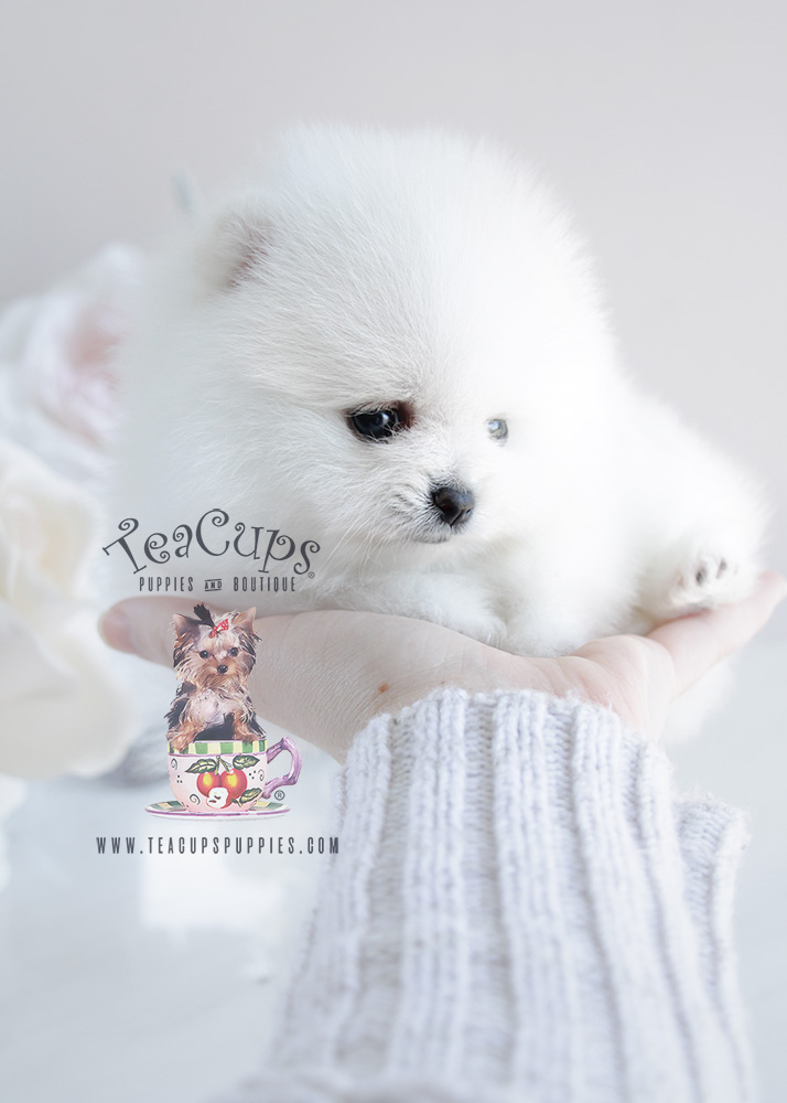 White Pomeranian Puppy For Sale #091 Teacup Puppies