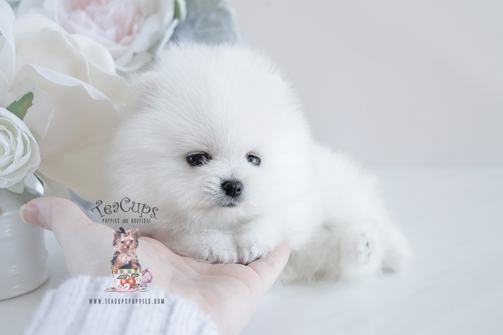 Pomeranian Puppy For Sale #091 Teacup Puppies White