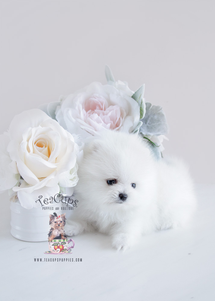 Snow White Teacup Pomeranian Puppy