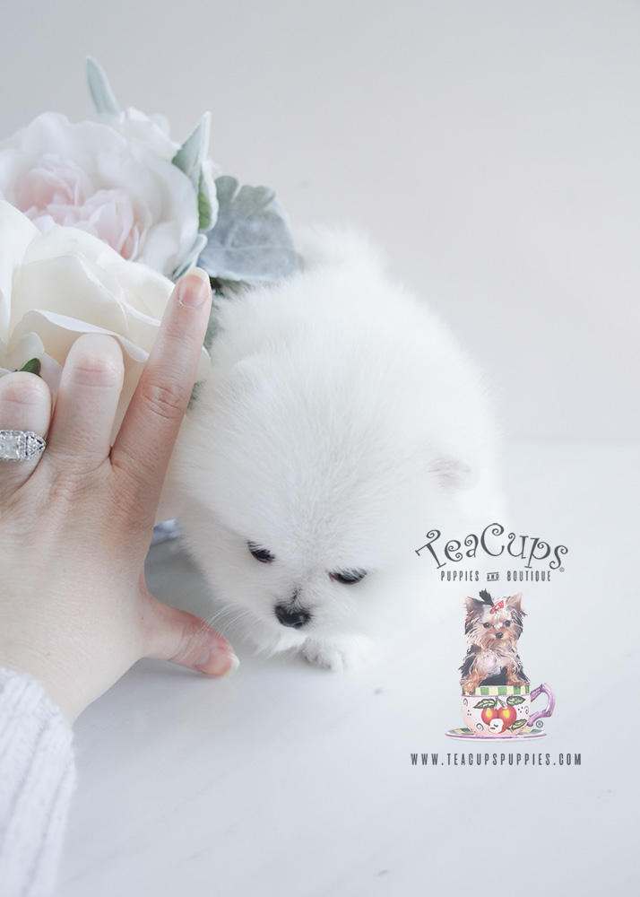 Teacup Puppies Pomeranian For Sale