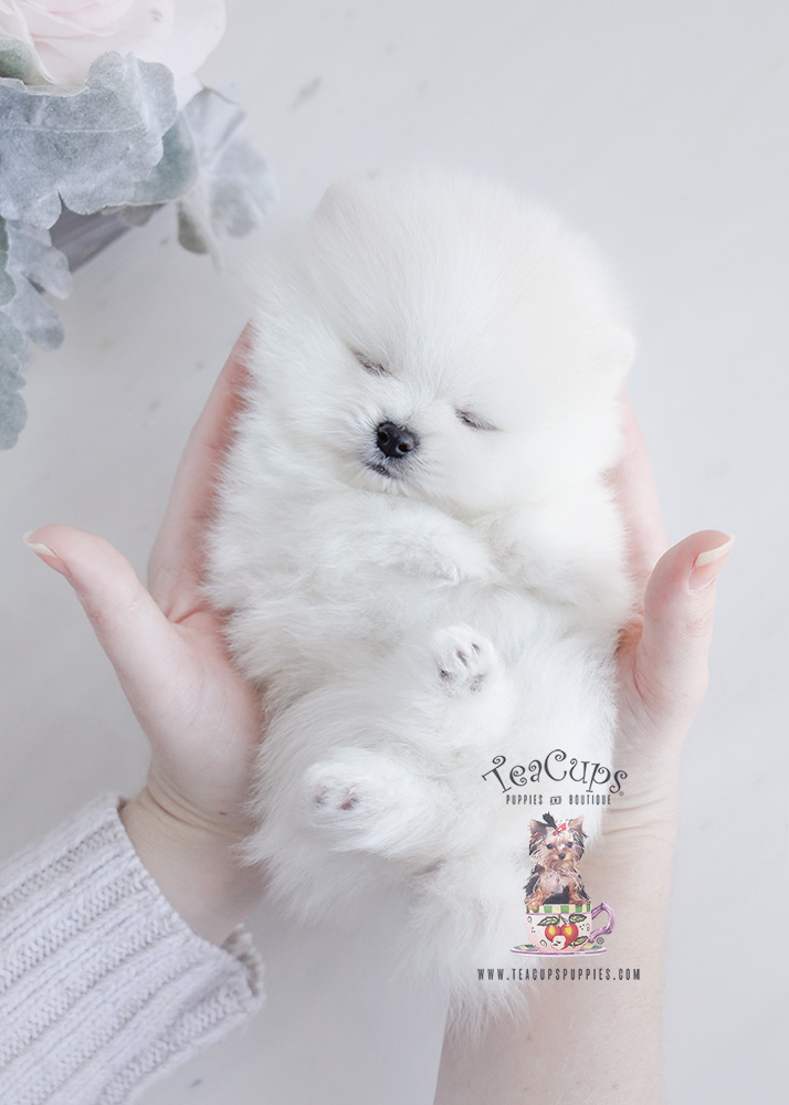 For Sale #091 Teacup Puppies White Pomeranian Puppy
