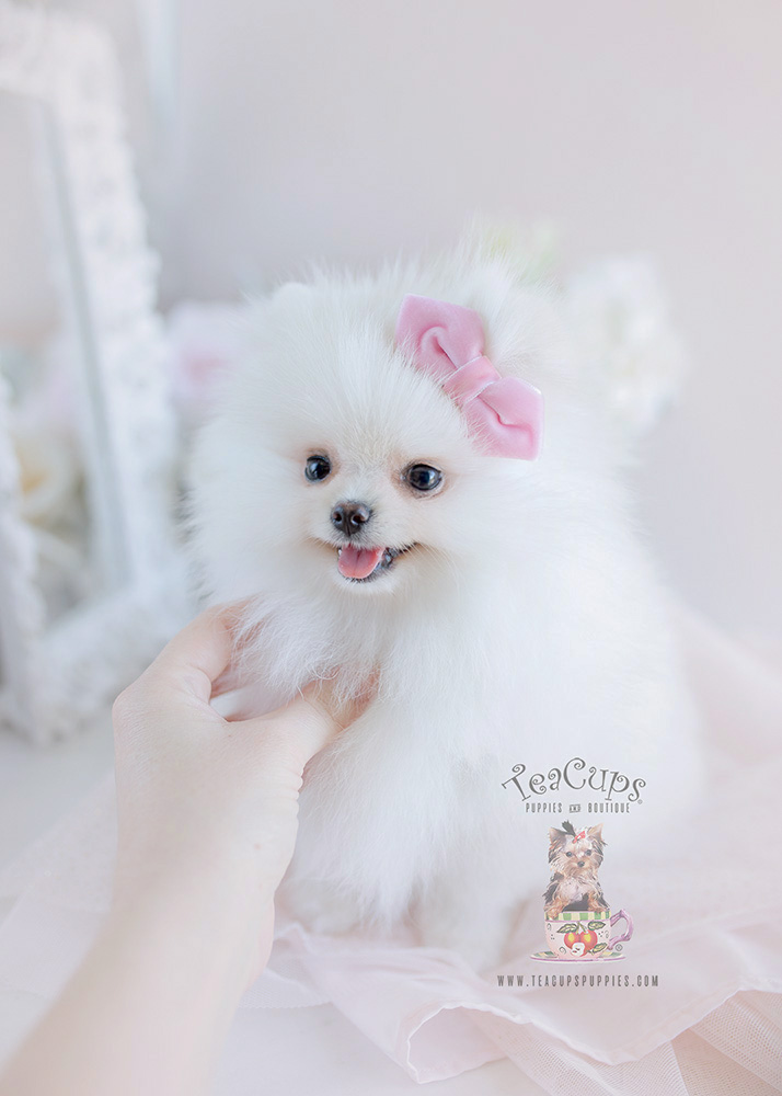 Snow White Pomeranian Puppies Teacups Puppies Boutique