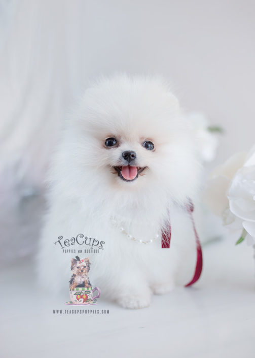 teacup white pomeranian puppy for sale tiny teacup pomeranian puppies teacups puppies boutique 2960