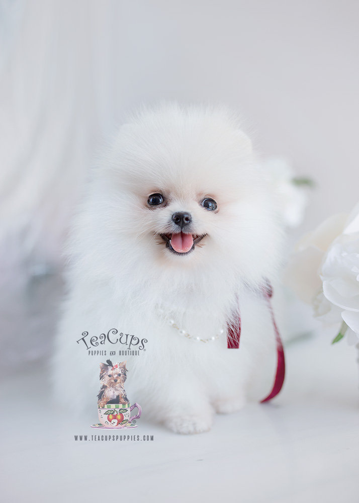 Snow White Pomeranian Puppy