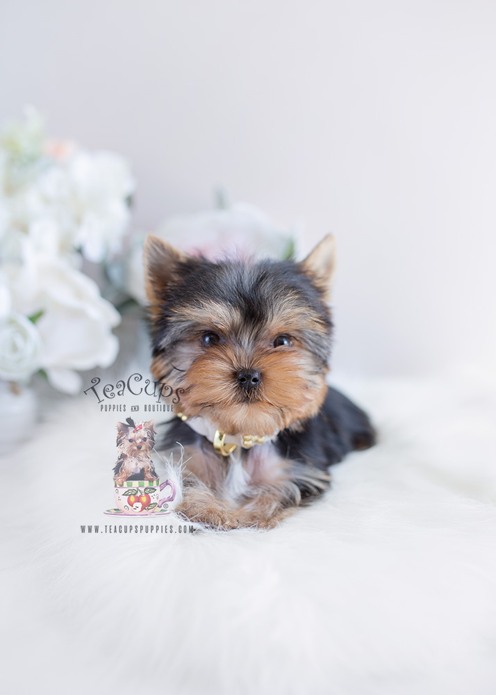 Yorkie Puppy For Sale #097 Teacup Puppies