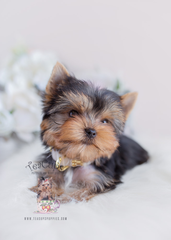 Blue and Gold Yorkie Puppy For Sale