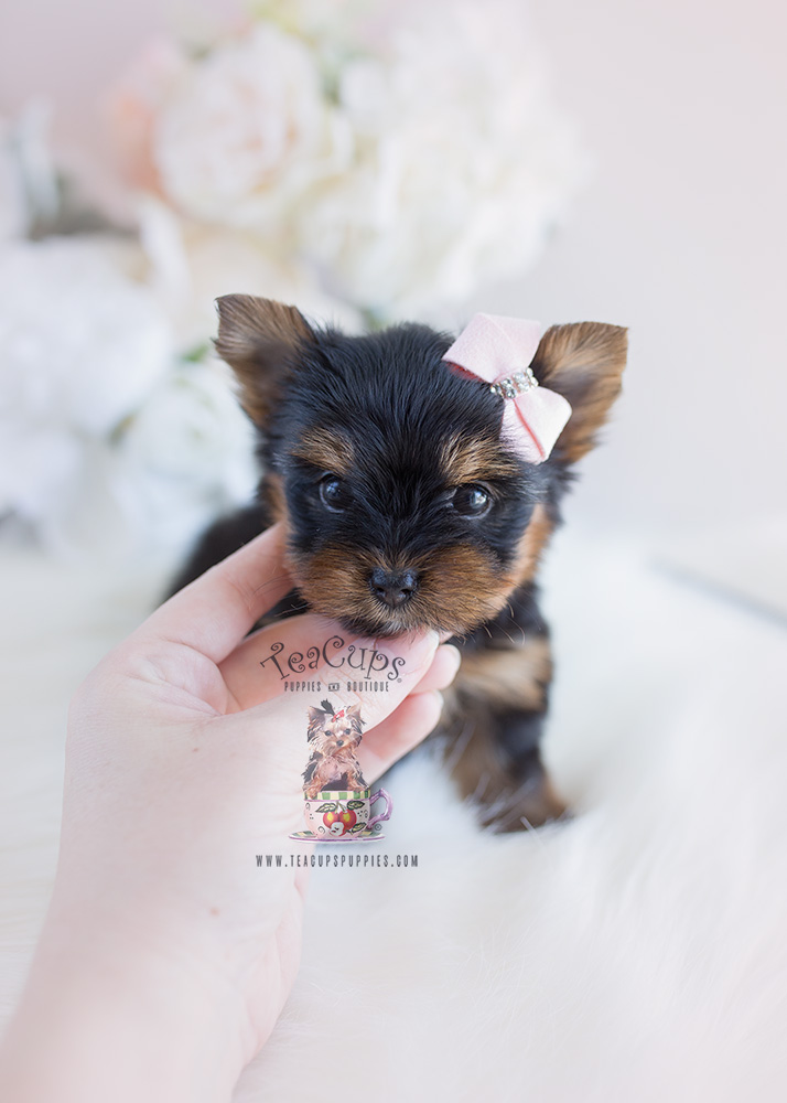 Puppy For Sale #102 Teacup Puppies Yorkie