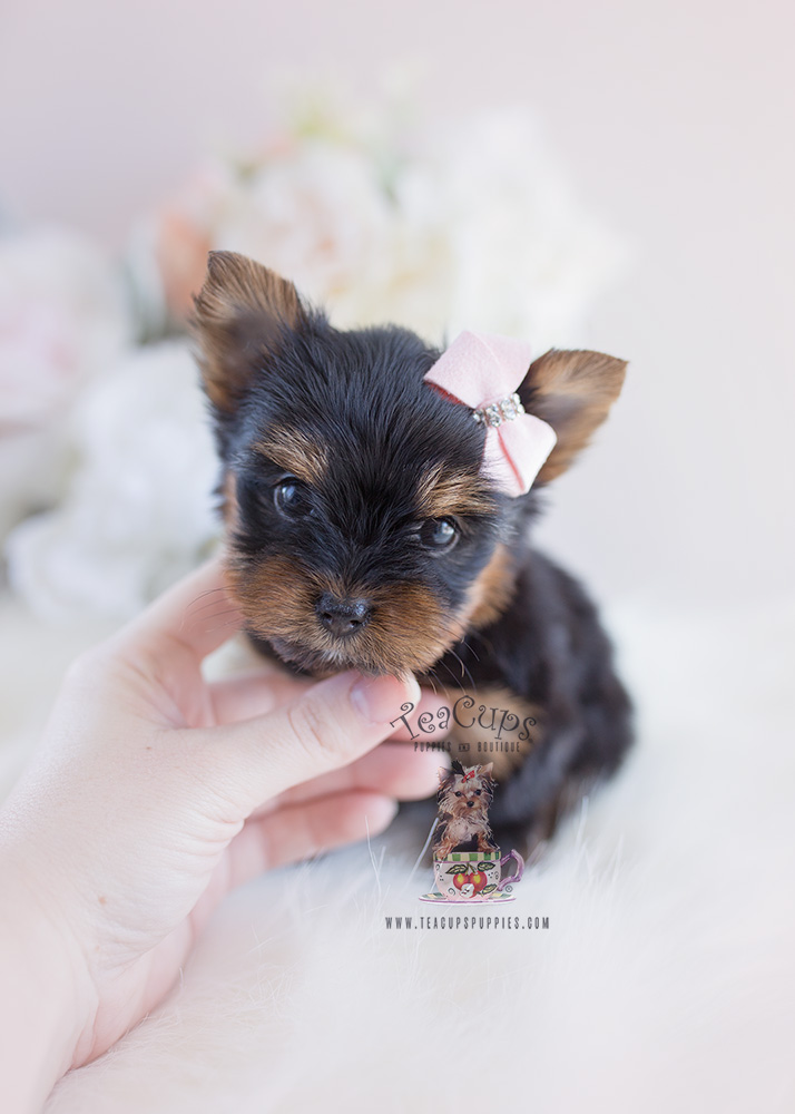 For Sale #102 Teacup Puppies Yorkie Puppy