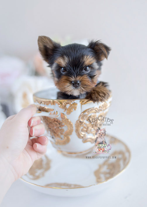 Tiny Yorkie Puppy in a Teacup #103
