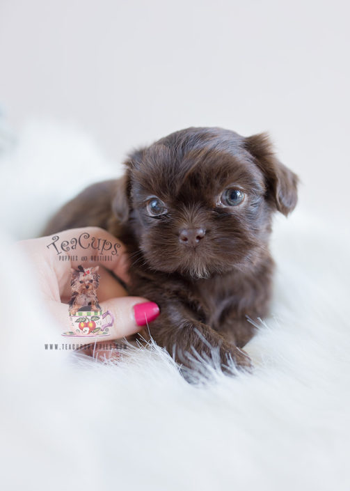 Chocolate Shih Tzu Puppy For Sale #112