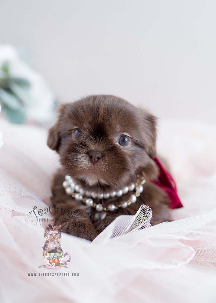 shih tzu puppies miami
