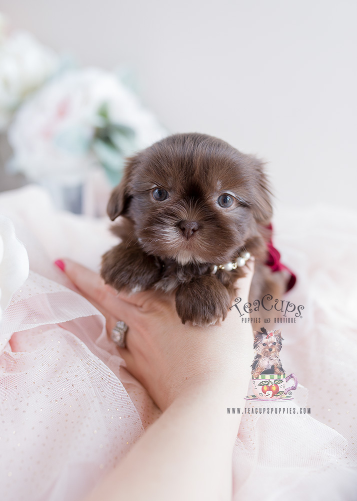 Chocolate Shih Tzu Puppy For Sale Teacup Puppies #110