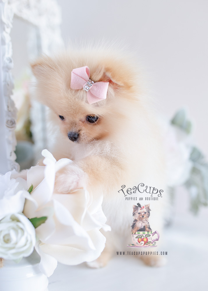 Pomeranian Puppy For Sale #120 Teacup Puppies