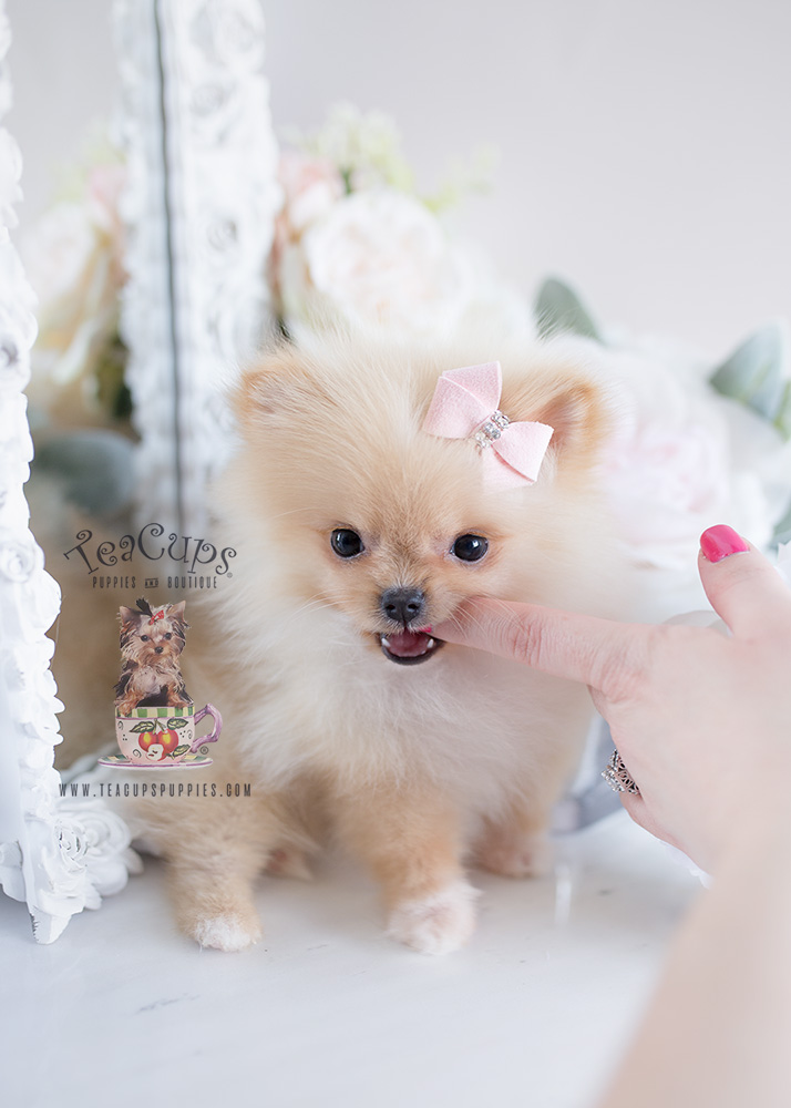 Puppy For Sale #120 Teacup Puppies Pomeranian