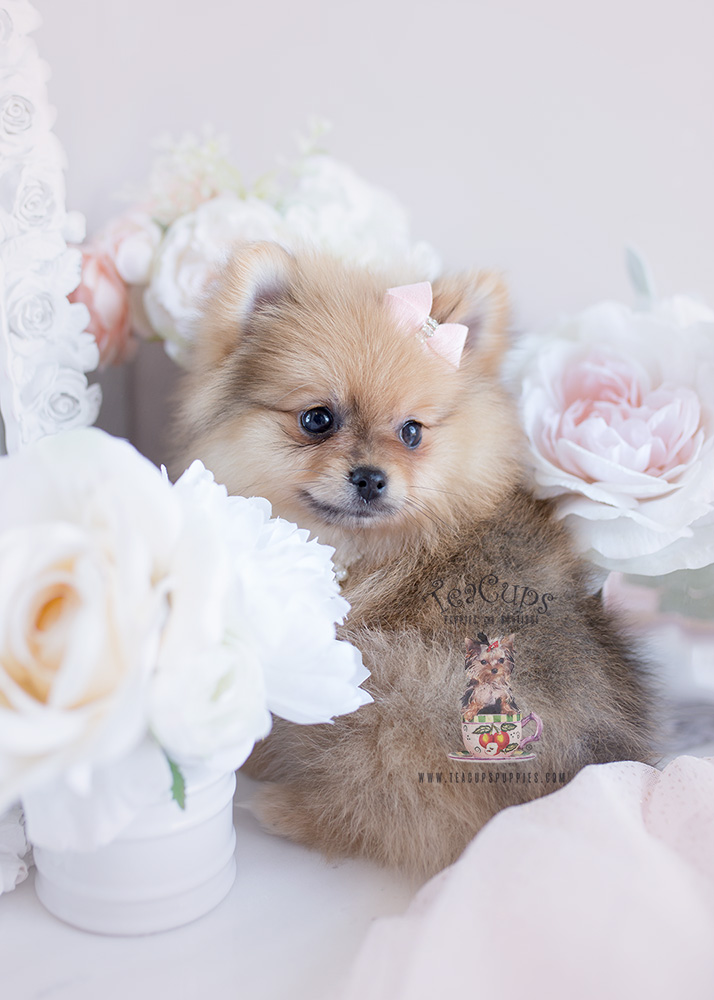 Puppy For Sale #125 Teacup Puppies Pomeranian
