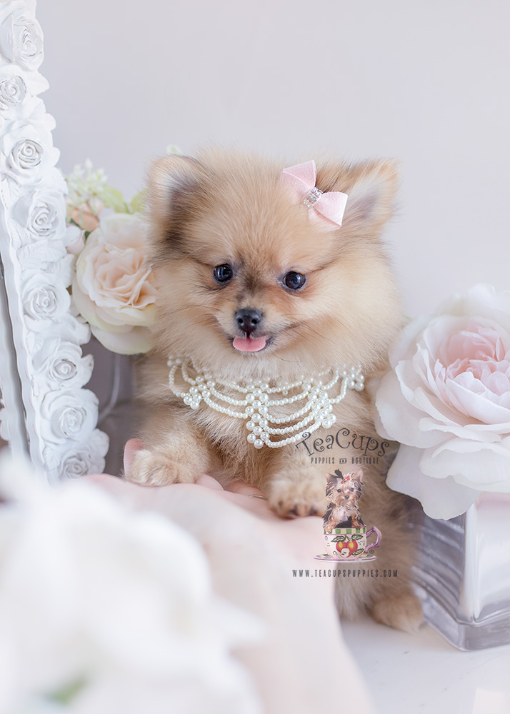 Pomeranian Puppy For Sale #125 Teacup Puppies
