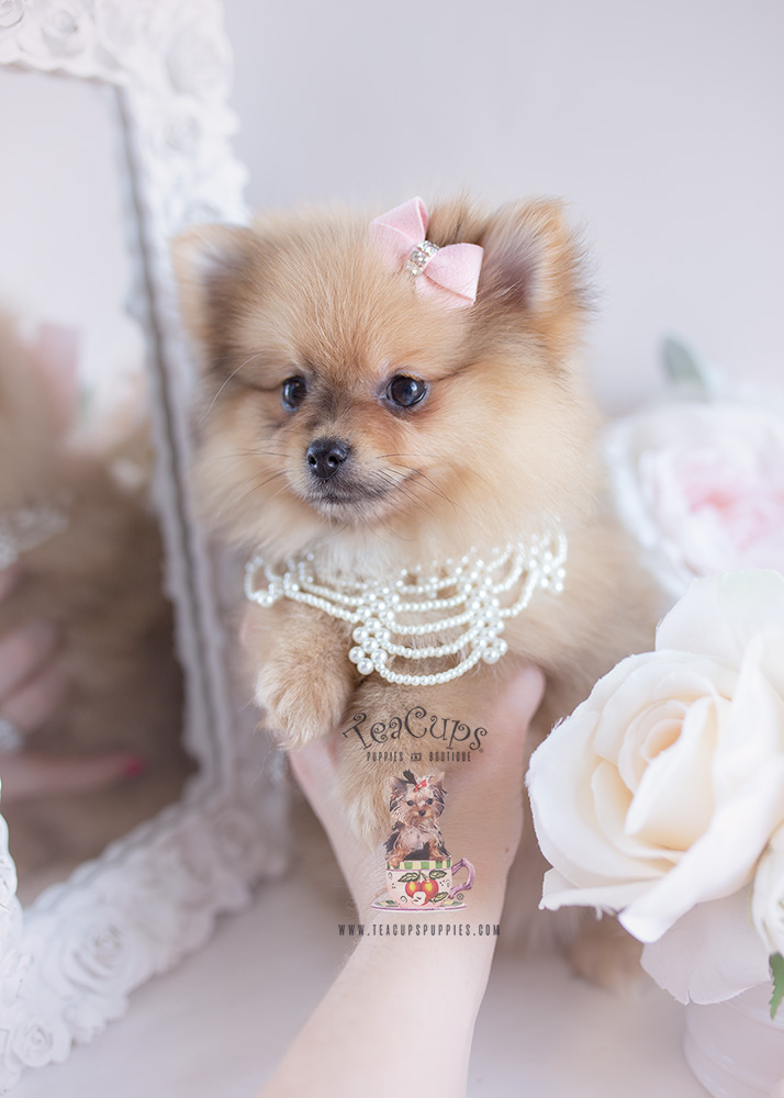 For Sale #125 Teacup Puppies Pomeranian Puppy