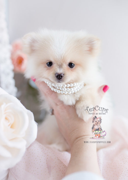 Puppy For Sale #126 Teacup Puppies Pomeranian