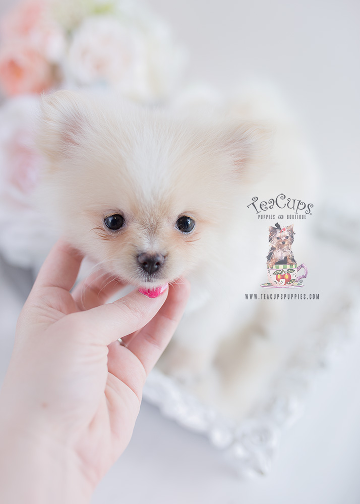 Pomeranian Puppy For Sale #126 Teacup Puppies