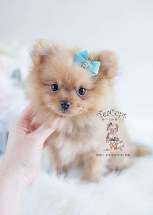 Adorable Orange Pomeranian Puppy For Sale #128