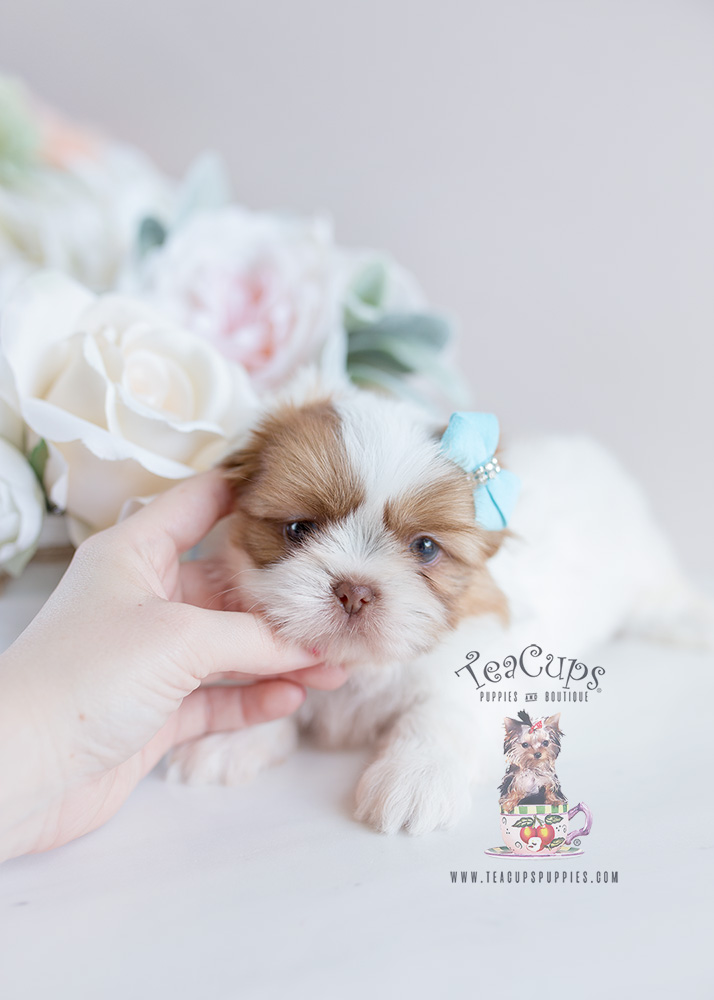 For Sale Teacup Puppies #113 Shih Tzu