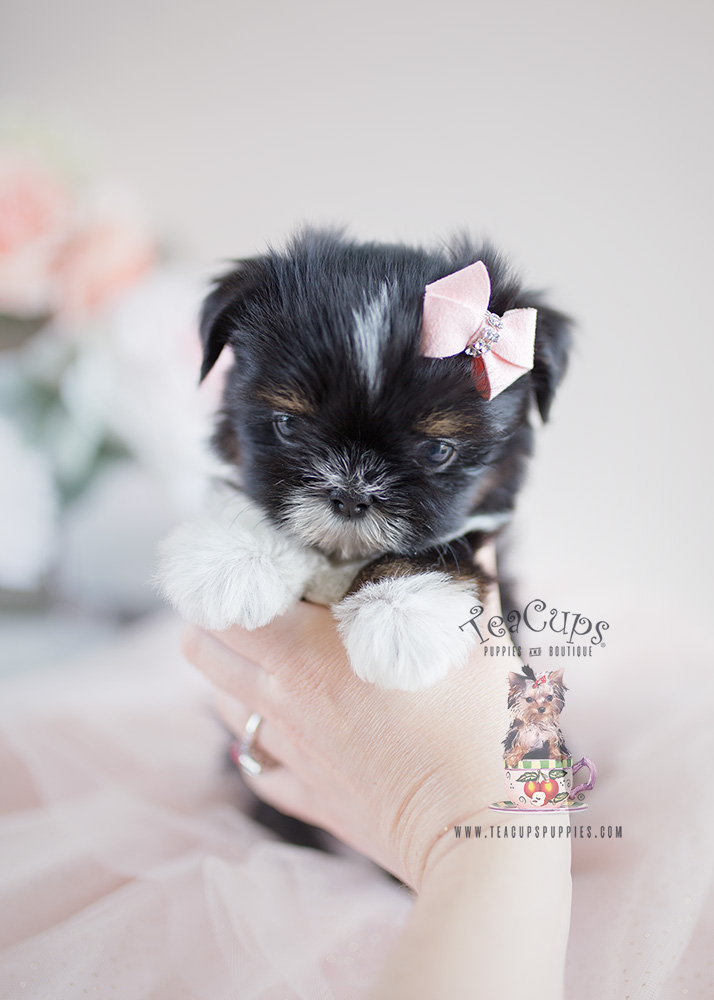 Precious Little Shih Tzu Puppies For Sale Teacups