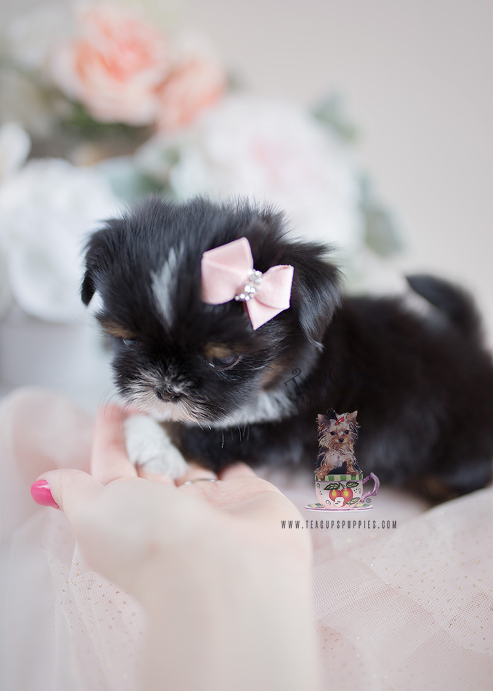 Teacup Puppies and Shih Tzu Puppies For Sale