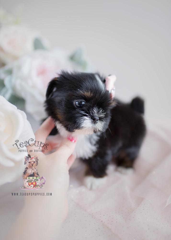 Tri Colored Shih Tzu Puppies For Sale