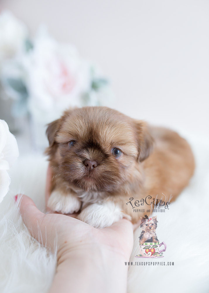 For Sale South Florida #114 Shih Tzu Puppy