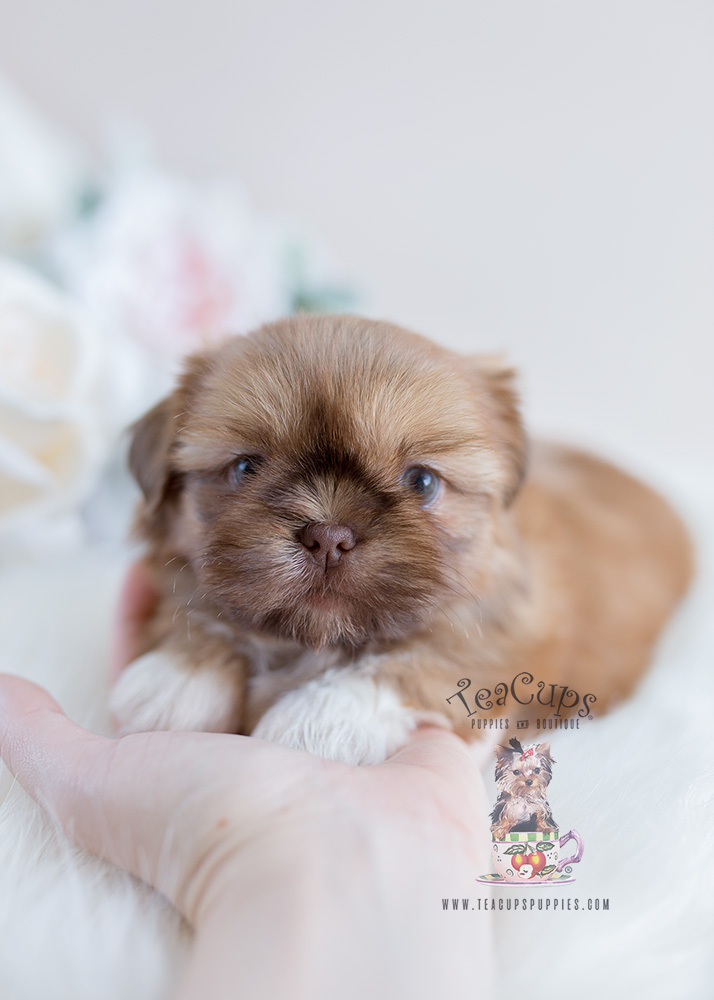 Delightful Little Shih Tzu Puppies For Sale Teacups