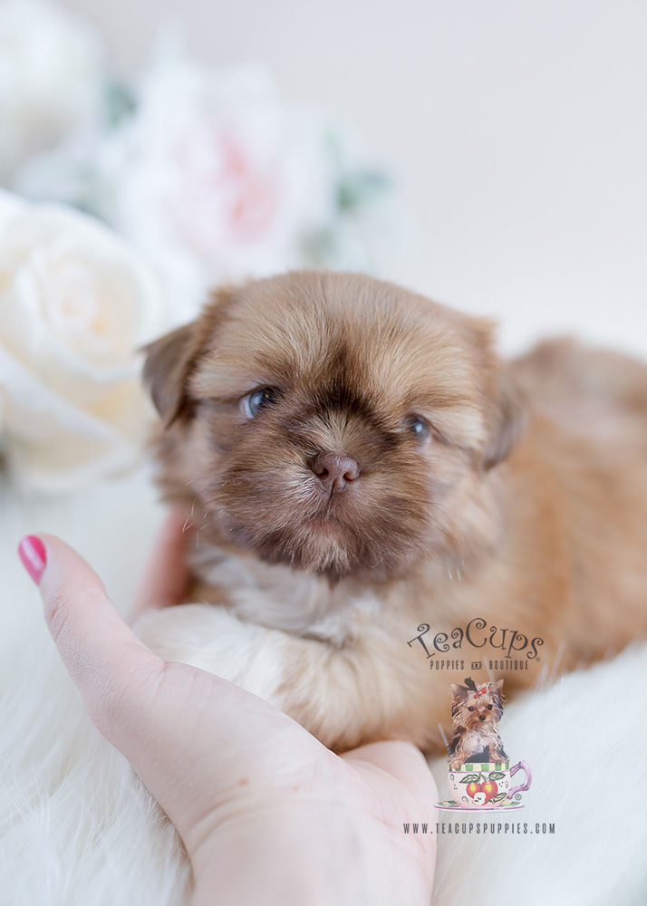 shih tzu puppies for sale in florida delightful little shih tzu puppies for sale teacups 1863