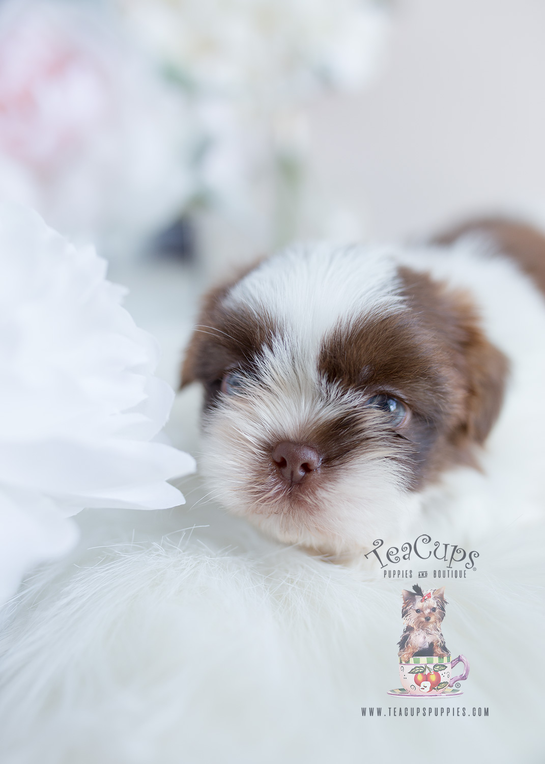 Male Shih Tzu Puppy For Sale