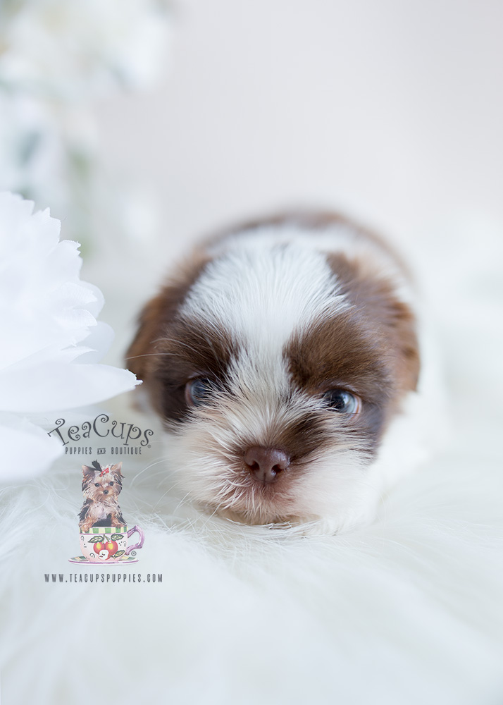 Broward County Shih Tzu Puppies