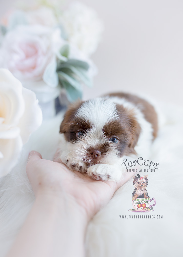 Puppy For Sale Teacup Puppies Shih Tzu